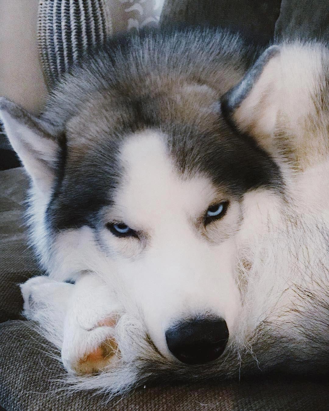 Discover Bold Siberian Husky Pup Health Siberianhuskyworld