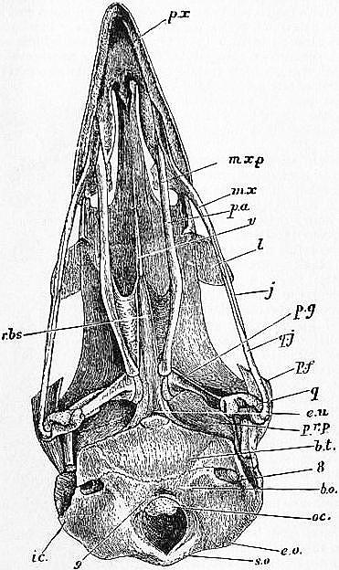 1911 Britannica-Bird-Skull of Fowl.png | Anatomy | Pinterest | Bird ...
