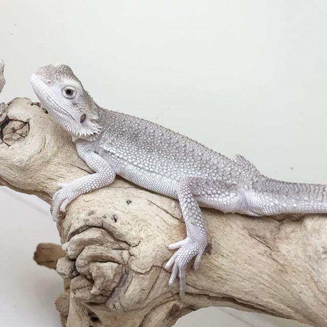 Zero Het Witblits Bearded Dragon | Bearded Dragon Pet | Pinterest