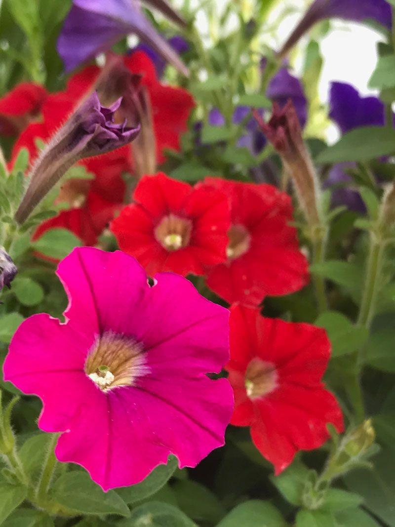 Petunien Petunien Pflanzen Und Garten