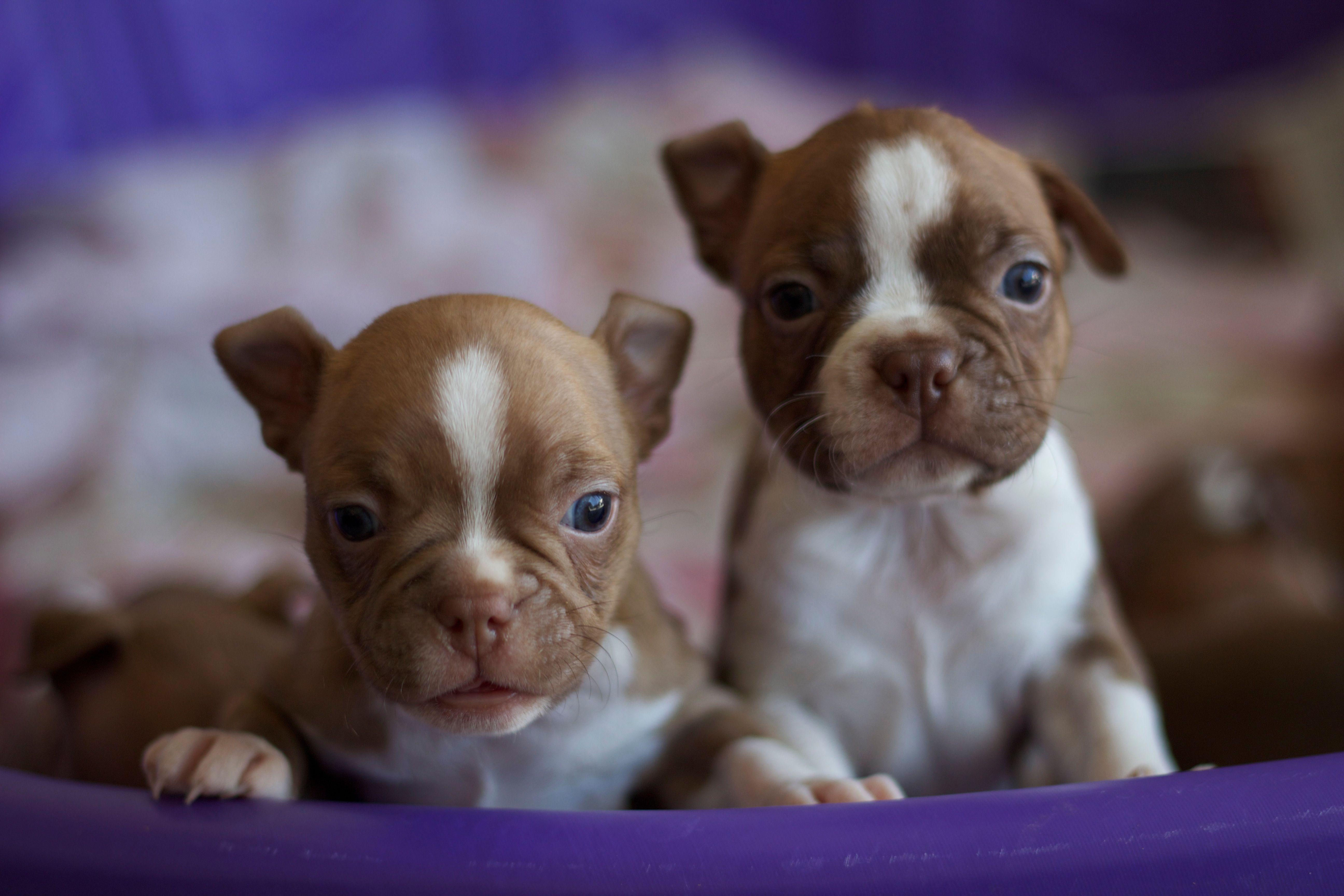 Boston terrier puppies boston terrier puppy boston