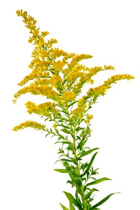 Fun Flower Facts Goldenrod Solidago Goldenrod Flower Fall Perennials Fall Flowers Garden