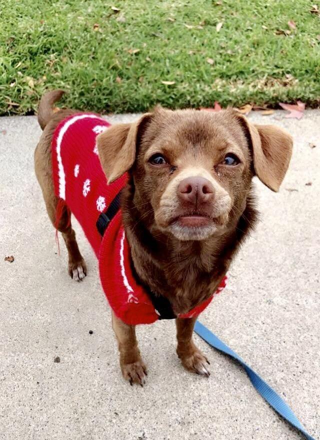 Chug Dog For Adoption In Mission Viejo Ca Adn 458229 On