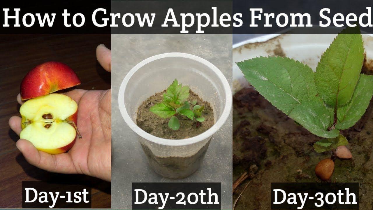 How To Grow An Apple Tree From Seed Easy Way Growing Apples From Seed Growing Apple Trees Planting Lemon Seeds