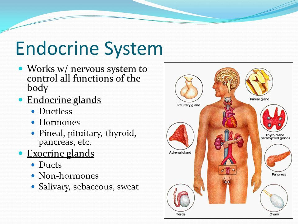 Endocrine System How It Works Mersnoforum