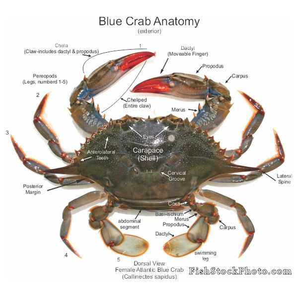 Blue crab anatomy-Crustaceans, arthropods of the sea. | FISH ...