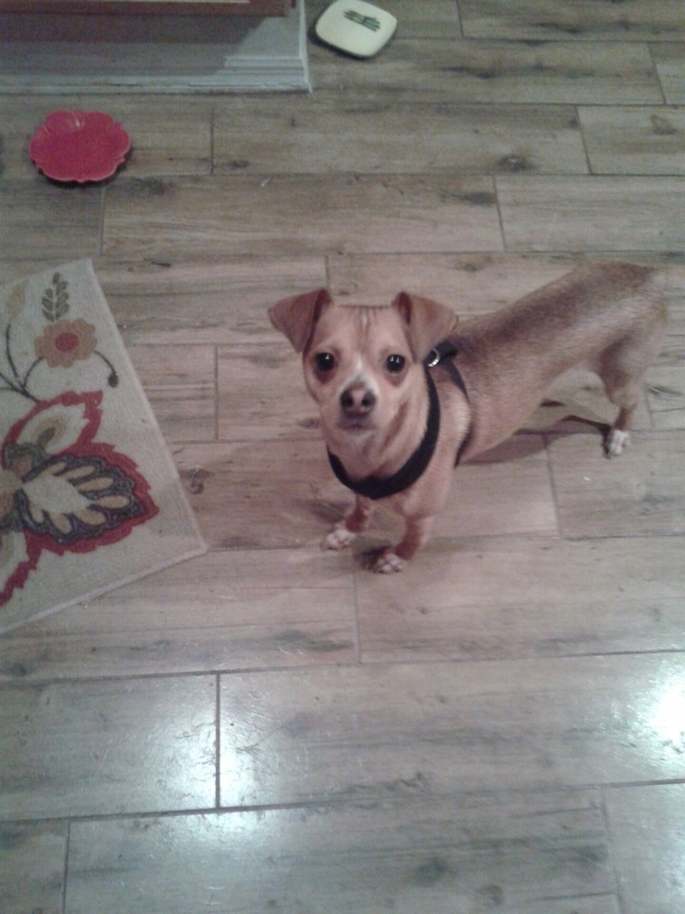 Chihuahua dog for Adoption in Tampa , FL. ADN599374 on