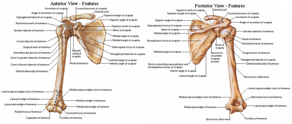 Shoulder Bones Anatomy Google Search Medical Stuff Pinterest