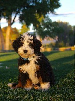 F1b Micro Mini Bernedoodles Maggie X Rio Maggie Is From