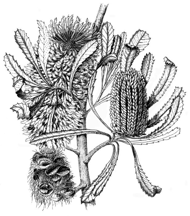 Banksia Marginata Pen Ink Drawing By John Armstrong Ink Pen Drawings Ink Drawing Botanical Drawings
