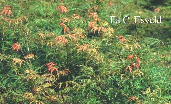 Acer Palmatum Green Globe Japanese Maples