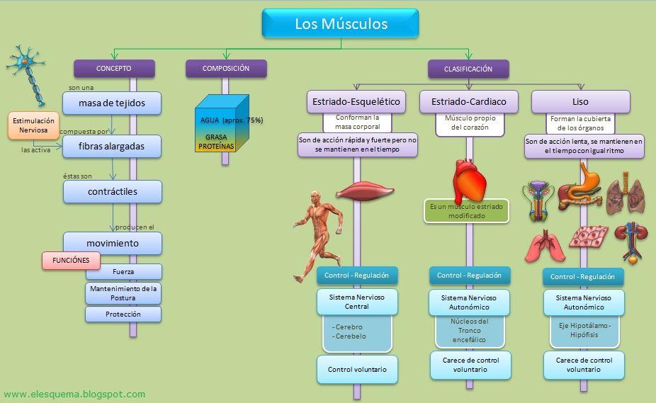 Resultado de imagen para diagrama del sistema muscular | Estudiar ...