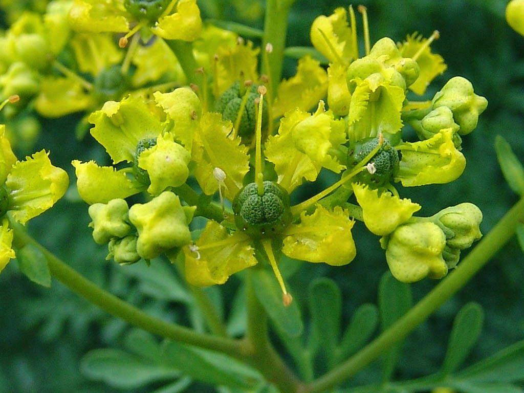 فائدة الفجل للبخور لعلاج السحر موسوعة Ruta Graveolens Seeds Home Garden Plants