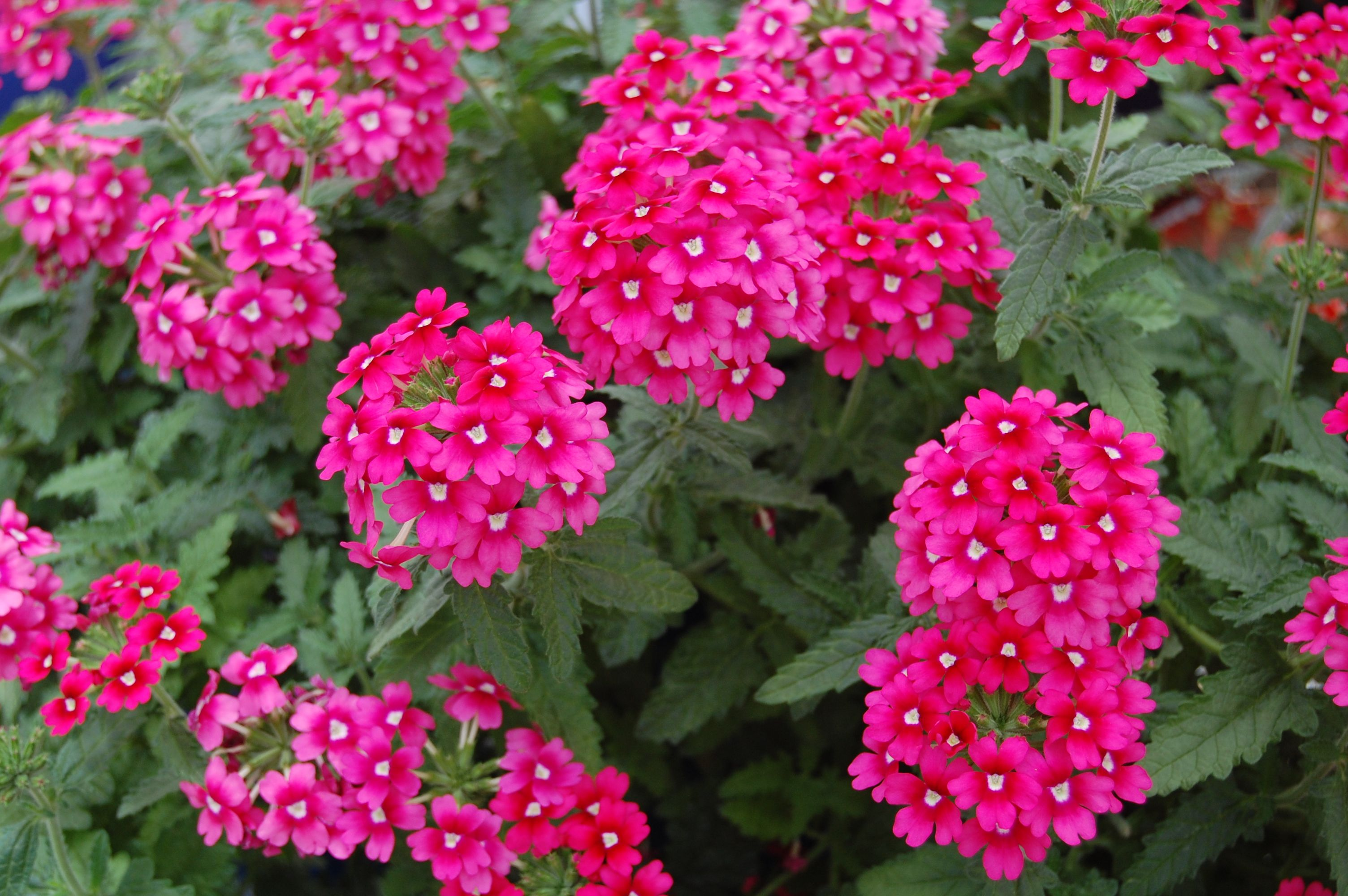 Estas Son Las Mejores Plantas Exteriores Resistentes Al Calor Que - Plantas-de-exteriores-con-flores