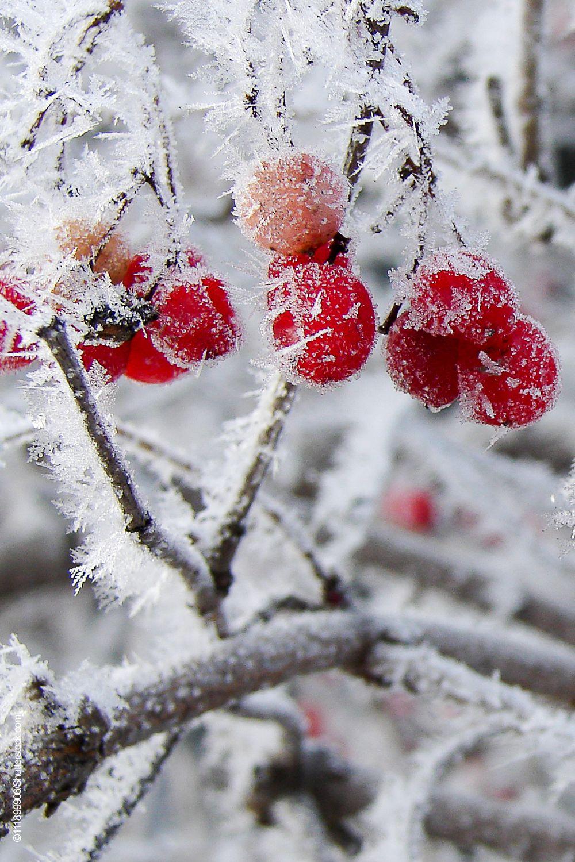 Winterlicher Garten Beeren Winterlandschaft Beeren Rote Beeren
