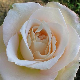 Rosa r k witherspoon champagne white flowers blushed with pink rosa r k witherspoon champagne white flowers blushed with pink and yellow at the base its long stems are perfect for cutting and the blooms mightylinksfo