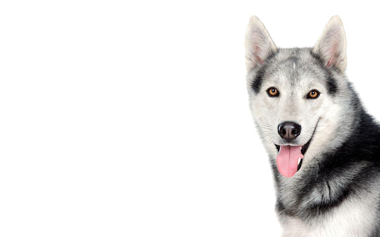 Husky Dog White Hd Wallpaper Background Dog Wallpaper Husky Dogs Siberian Husky Dog