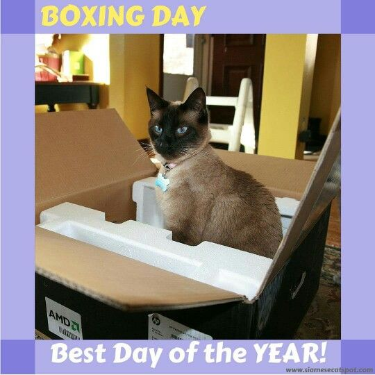 Boxing Day Gorgeous Cats Siamese Cats Siamese Dream