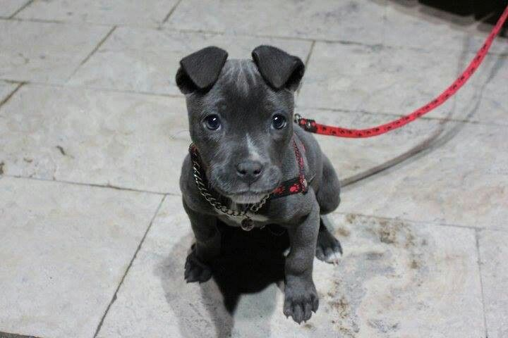 Awesome Blue Nose Puppy With Natural Ears Cute Animals Animals