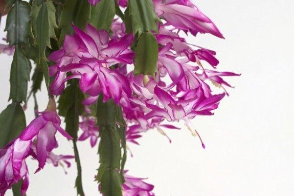 Grudnik Jest Stosunkowo Latwy W Uprawie Ale Ma Specyficzne Wymagania Mockingbird Morgfile Com Thanksgiving Cactus Christmas Cactus Cactus Care