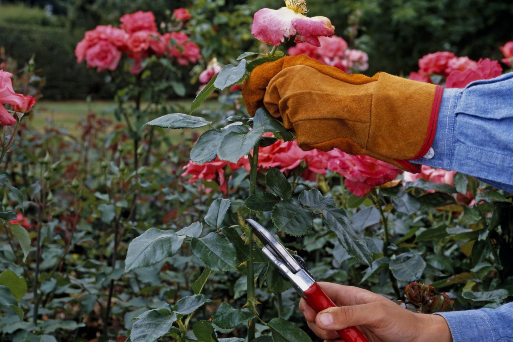 Learn the best method to prune your hybrid tea roses hybrid tea