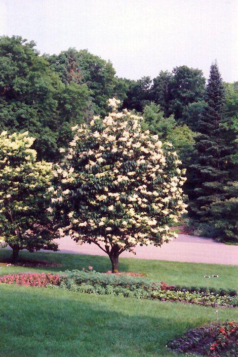 Japanese Tree Lilac Clump Syringa Reticulata At Bachman S