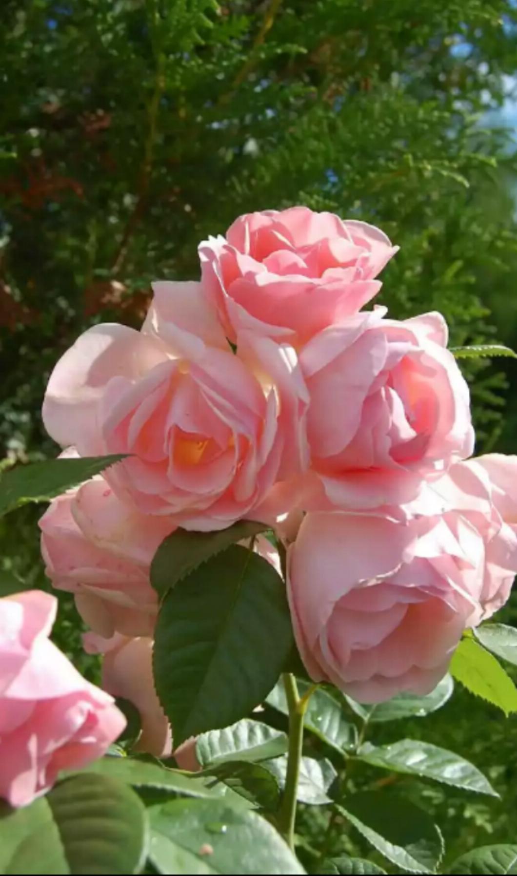 pretty in pink rose pinterest flowers pretty in pink love rose beautiful izmirmasajfo