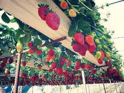 Recycle Rain Gutters And Make Elevated Strawberry Plants Gutter Garden Strawberry Garden Edible Garden