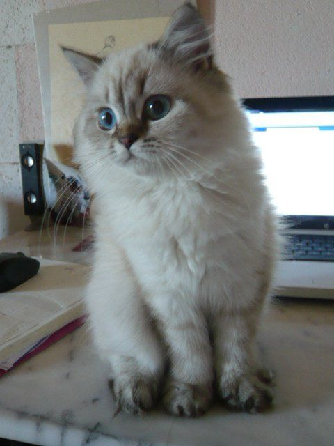 British Longhair - Femelle Seal Tabby Point - #cat #chat #britishlonghair #animal #arthoria #bordeaux