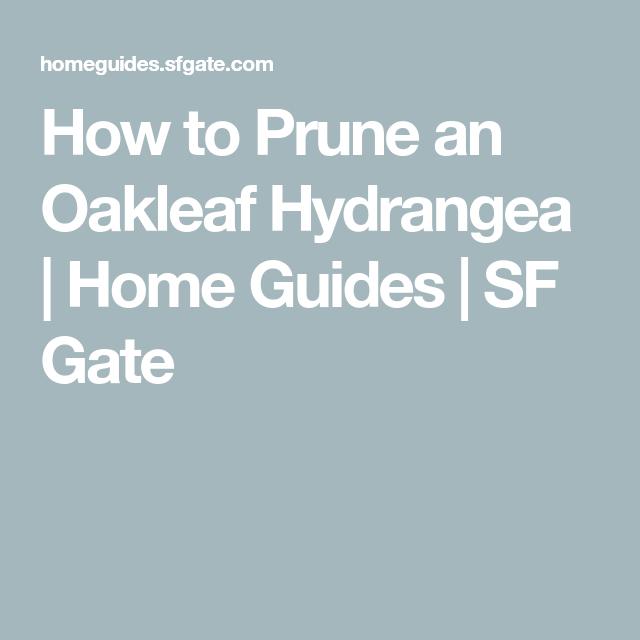 Pruning Oak Leaf Hydrangeas In Fall: How To Prune An Oakleaf Hydrangea