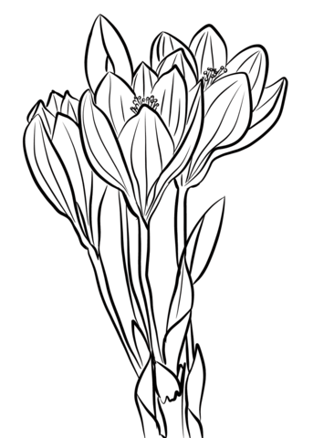 dd76a5de0b1e1 Click to see printable version of Showy Autumn Crocus Coloring page ...