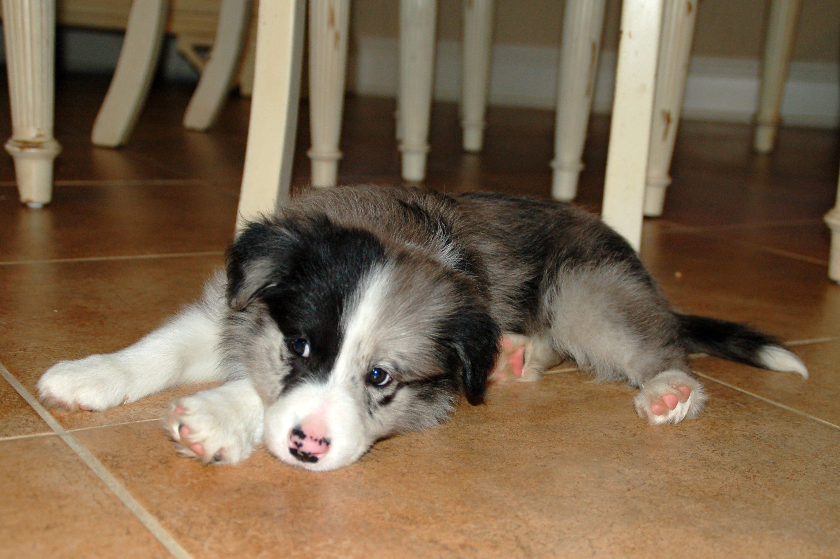 Raising A Border Collie Puppy Named Cross Click To Read Blog Border Collie Names Collie Puppies Border Collie Puppies