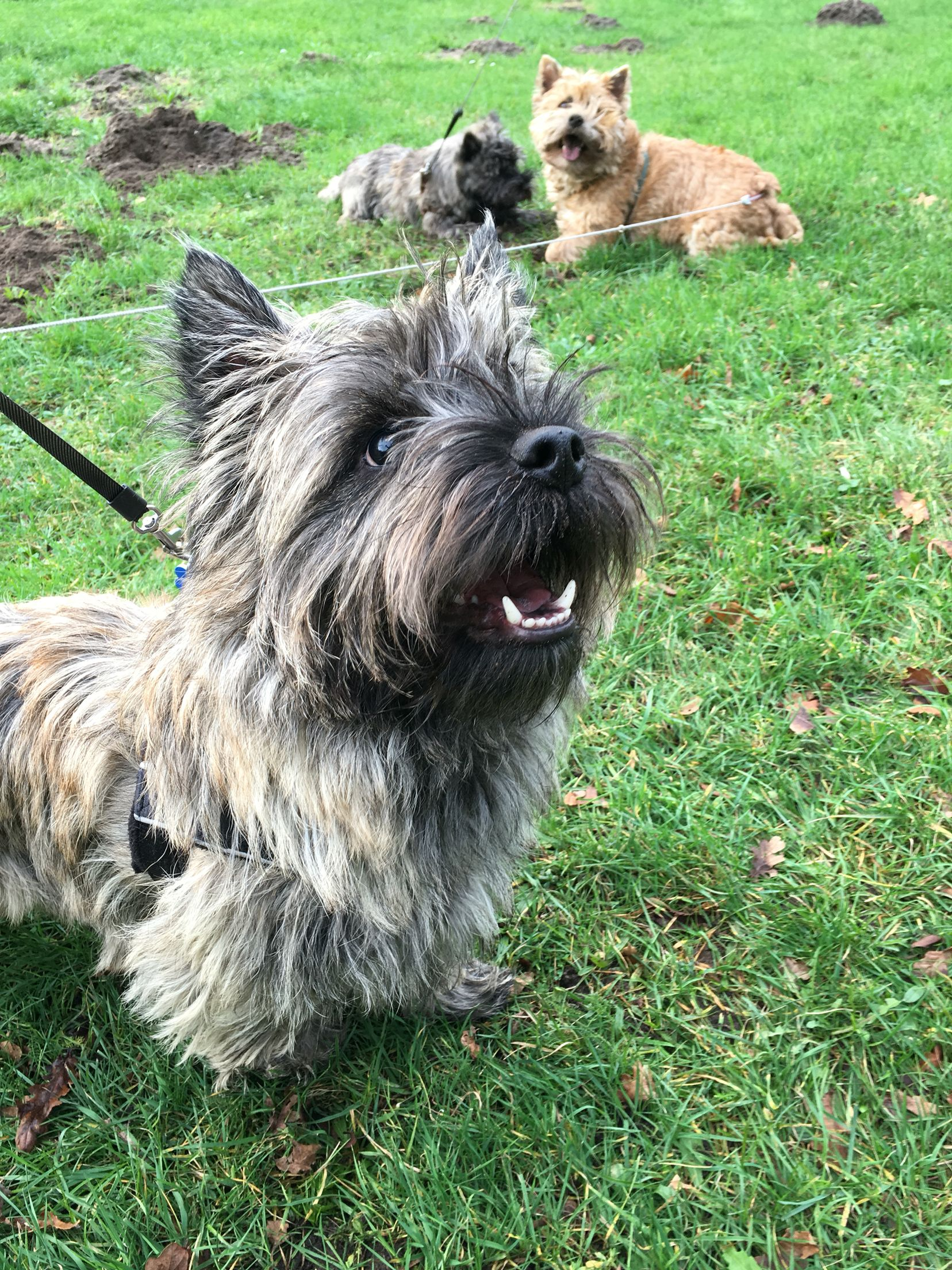 Pin By Kay Mitchell On Pets Terrier Puppies Terrier Norwich
