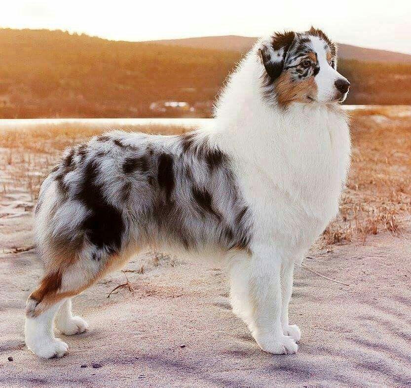 Berger Australien Australian Shepherd Dogs Pretty Dogs Cute Dogs Breeds