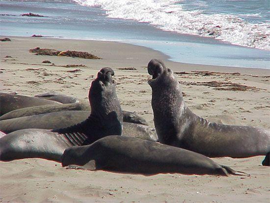 Bilderesultat for san simeon elephant seals