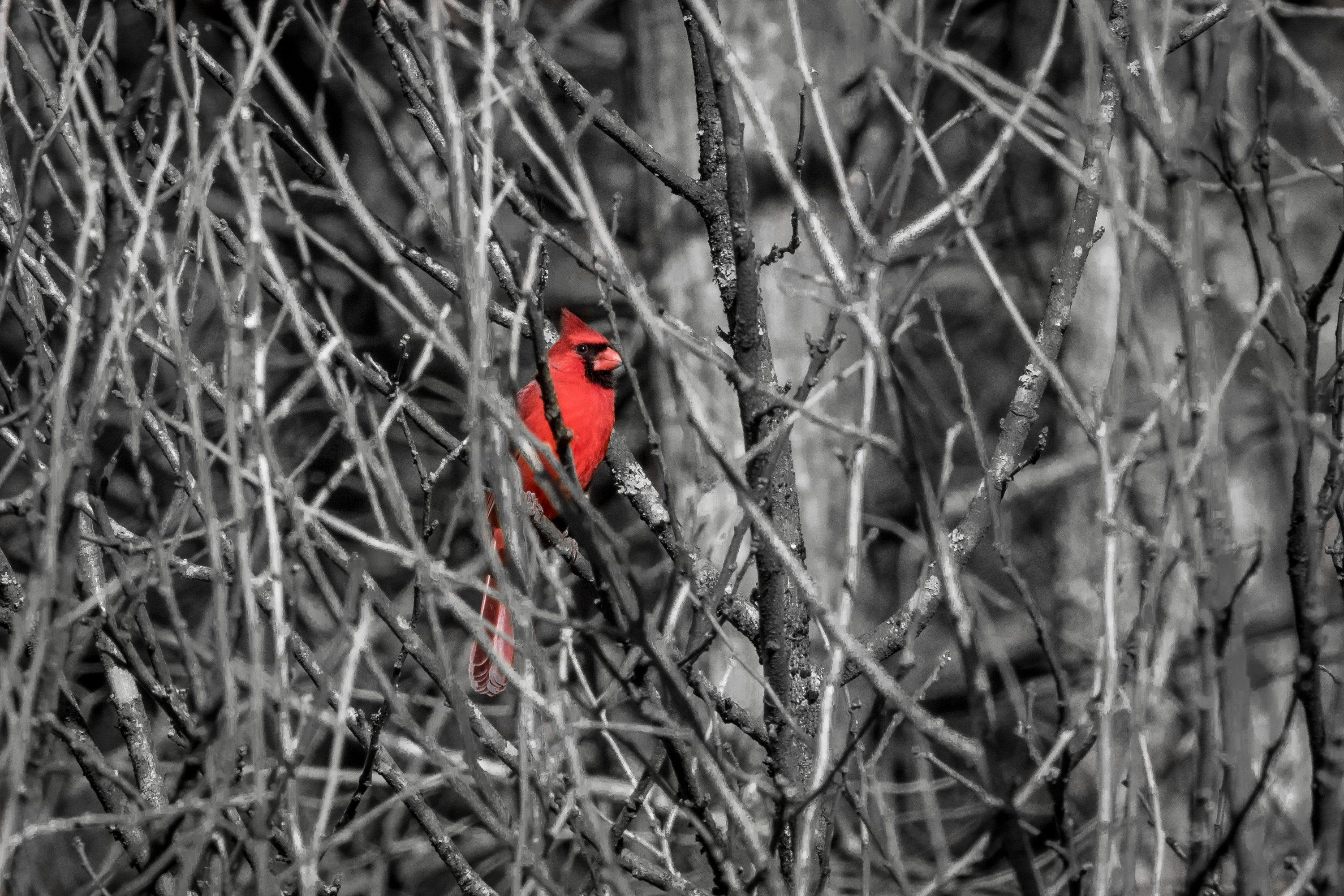 Male Cardinal Red Bird In Black And White Folded Greeting Card With Envelope 5 X 7 Single Card Or Multiples Blank Inside Fr Red Birds Blue Butterfly Cards