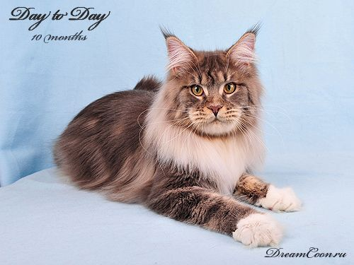 champion maine coon kittens for sale