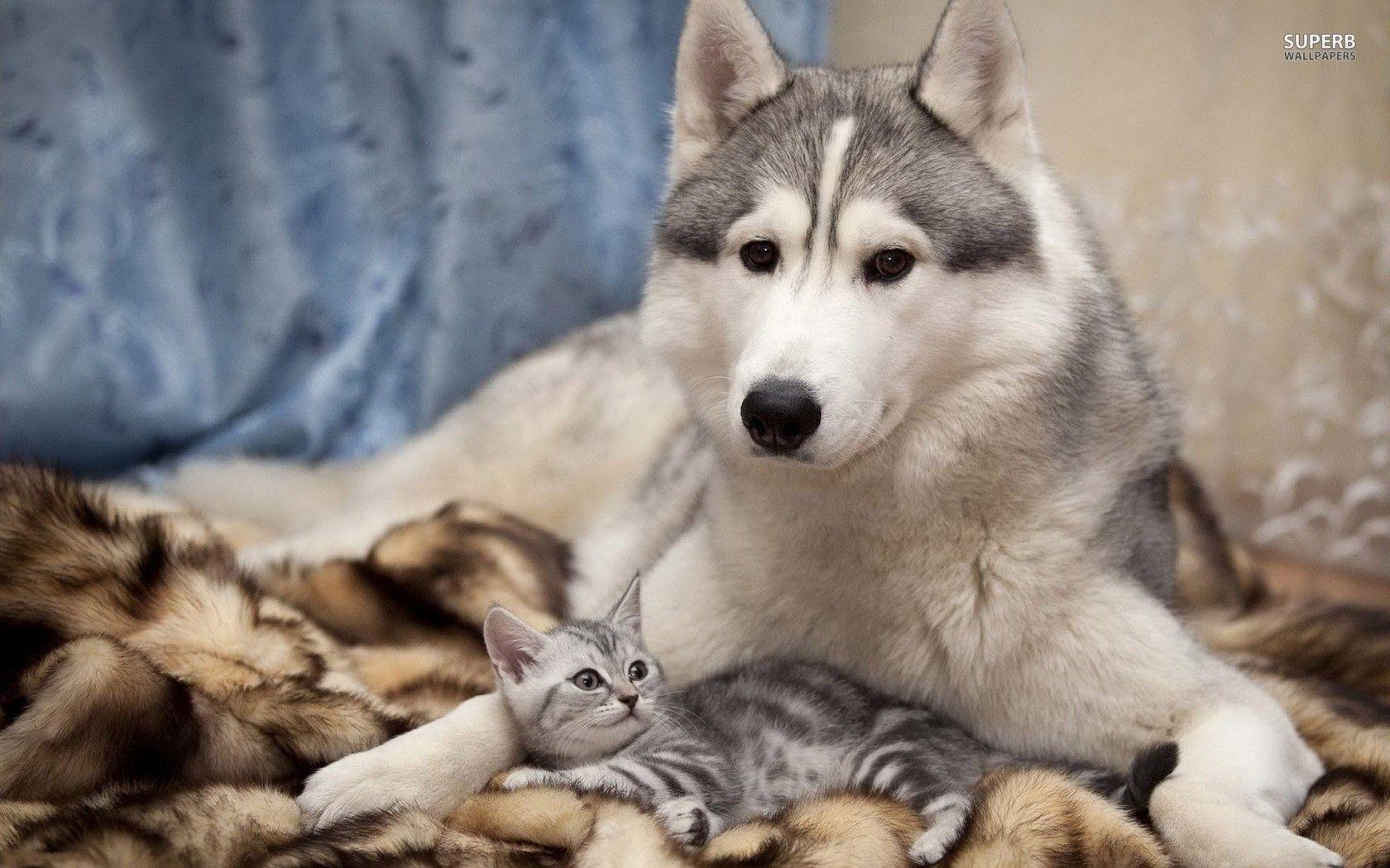 Siberian Husky With A Kitten Wallpapers Mobilite Kitten