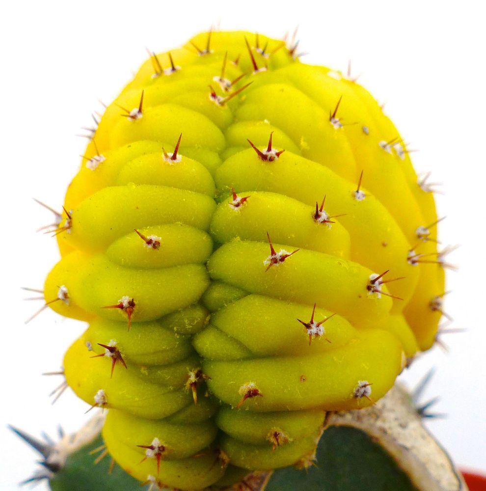 Trichocereus pachanoi CRESTED + VARIEGATED no ariocarpus crested copiapoa C1