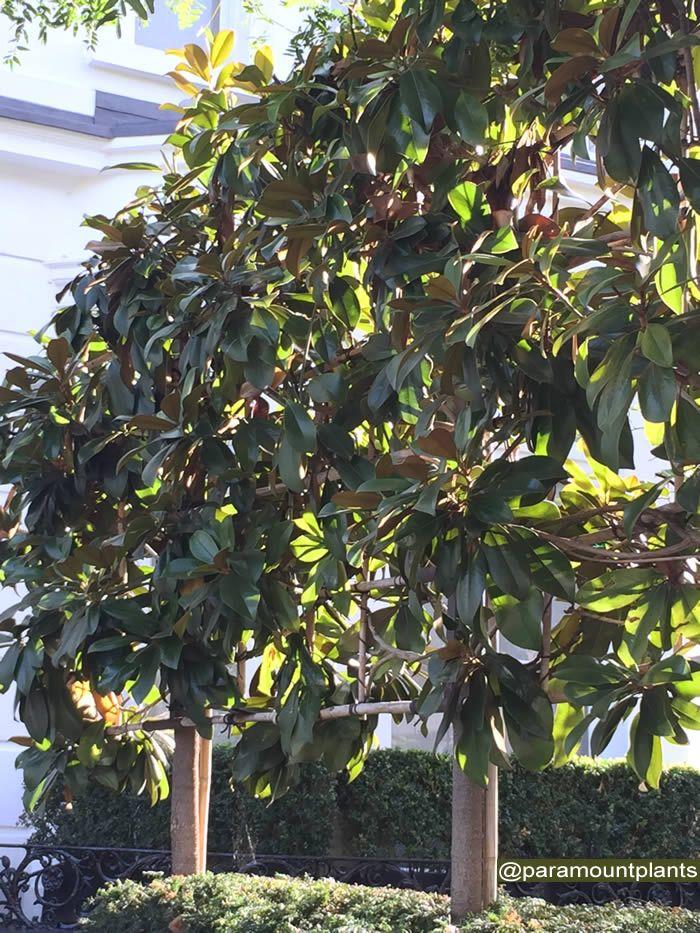 Magnolia Grandiflora Pleached Trees Fences And Hedging Magnolia