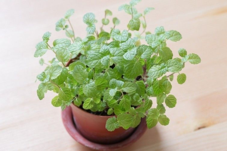 menta hierbabuena plantas energia positiva
