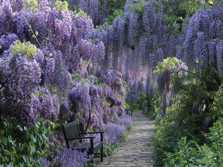Unbelievably lovely wisteria path