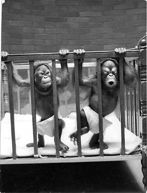 Chinta Towan Twin Orangatang S Woodland Park Zoo Circa 1968 Funny Monkey Pictures Monkey Pictures Monkeys Funny