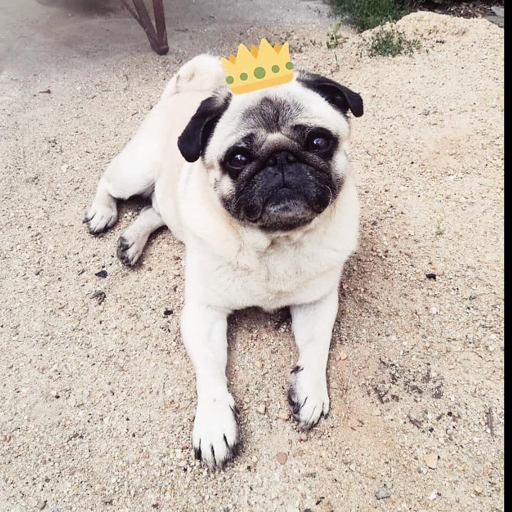 Pug Prince Willi Pugs French Bulldog Animals