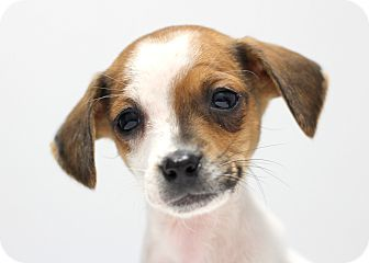 College Station Tx Jack Russell Terrier Dachshund Mix Meet