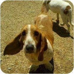 Acton Ca Basset Hound Meet Bart A Dog For Adoption Http