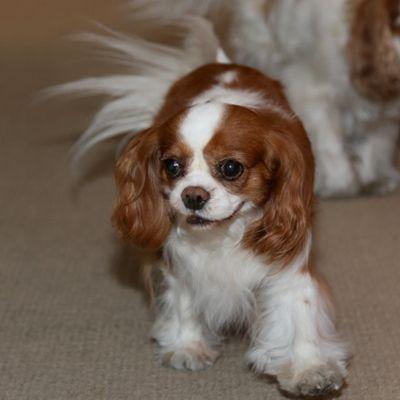 404 Item Not Found Cavalier Rescue Cavalier Puppy Cavalier