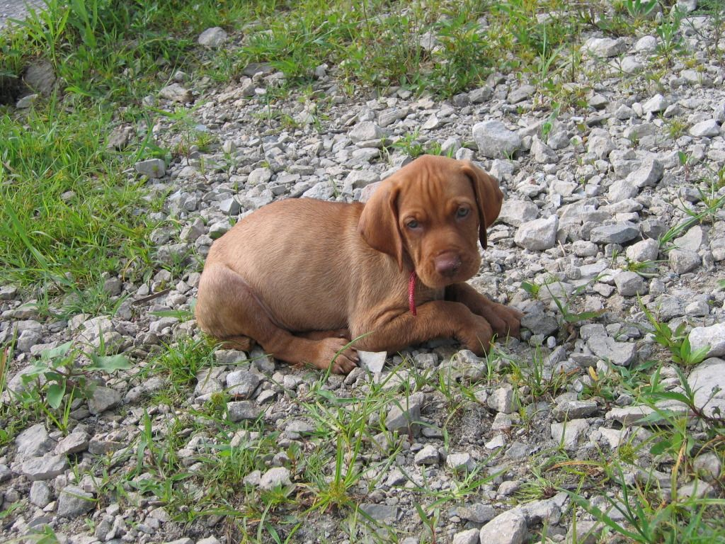 Our vizla baby ) Cute puppy pictures, Cute animals