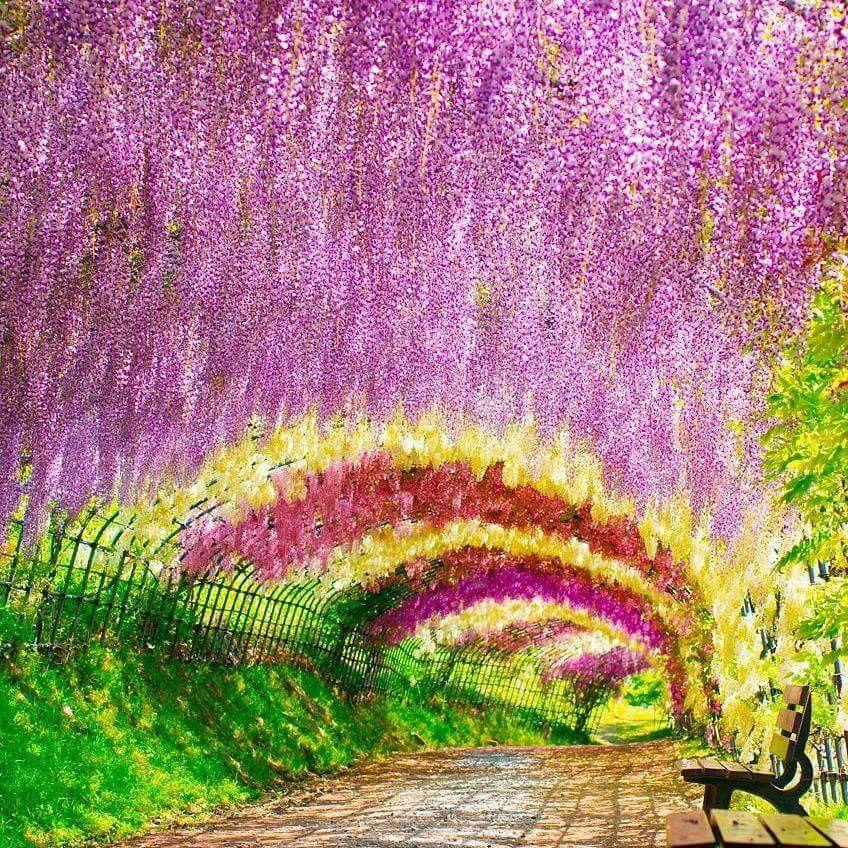 64598b40cad8ba7b628c95e4a1be9723 - Wisteria Tunnel At Kawachi Fuji Gardens Kitakyushu Japan