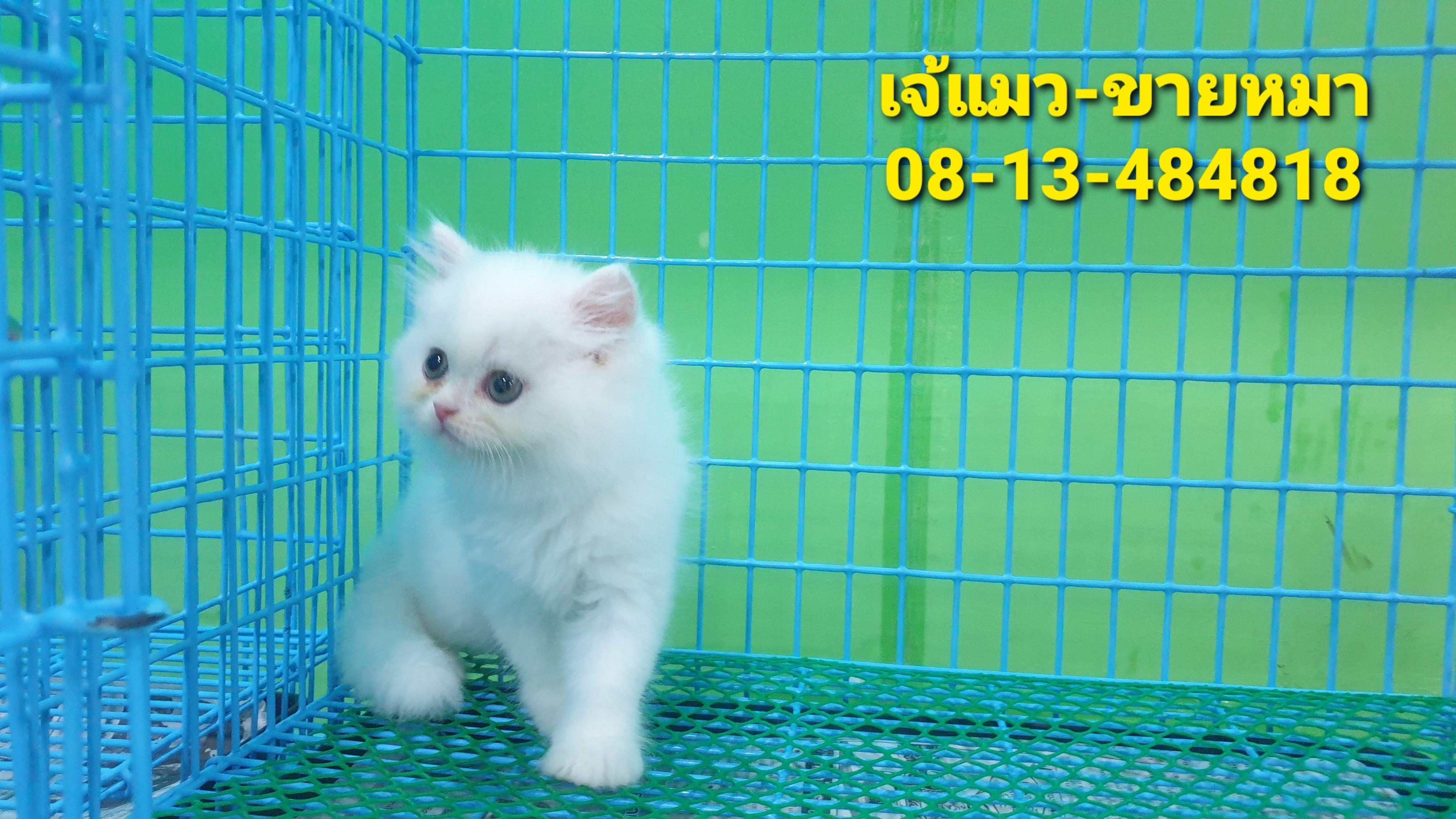 ขายแมวภ เก ต Pomeranian ปอมเมอร เรเน ยน ภ เก ต Teacup ช วาว า ปอม 08 13 484818 เจ แมว ร กหมา